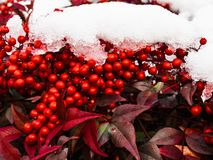 Holly Berries in the snow. A beautiful snowy day in Mount Airy, North Carolina fun for all even the holly Royalty Free Stock Image