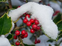 Holly berries with snow Royalty Free Stock Photography