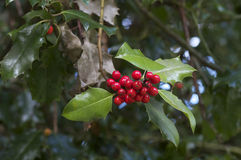 Holly and Berries Royalty Free Stock Photos