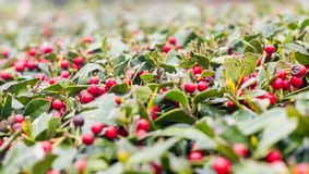 Holly Berry Bush with Red Berries. Closeup of trimmed holly berry bush with bright red berries as signs of spring show stock images