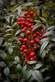 Holly Berry. Holly Berries growing in South Carolina royalty free stock image