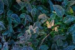 Holly berry leaves with frosting, Christmas floral royalty free stock photography