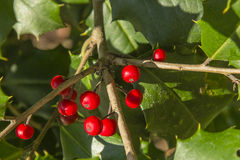 Holly Berry Stock Images