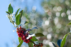 Holly berry with a spider web stock image