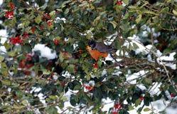 holly berrys gdzie Zdjęcia Royalty Free
