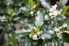 Holly Blossoms. Holly leaves and blossoms royalty free stock image