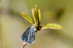 Holly Blue Stock Image