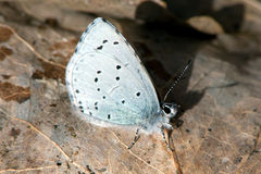 The Holly Blue butterfly (Celastrina argiolus). The Holly Blue (Celastrina argiolus) is a butterfly in the family Lycaenid or Blue. It is first out of the blues royalty free stock photography