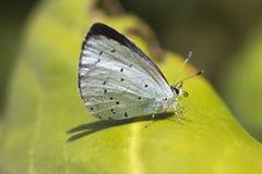 Holly Blue Butterfly Celastrina argiolus arkivfoton