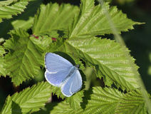 Holly Blue. Butterfly - Celastrina argiolus Male royalty free stock photos