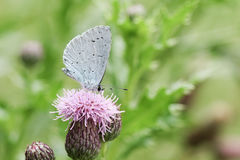 A Holly blue Butterfly Celastrina argiolus nectaring on a thistle flower. Stock Photography
