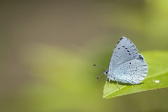 Holly blue butterfly. A holly blue (Celastrina argiolus) butterfly resting in grass. The holly blue has pale silver-blue wings spotted with pale ivory dots stock photography