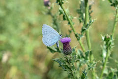 Holly blue butterfly. Feeding from a thistle flower Royalty Free Stock Photos