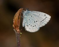 The holly blue Celastrina argiolus. Is a butterfly that belongs to the lycaenids or blues family and is native to Eurasia and North America Royalty Free Stock Photos