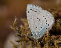 The holly blue Celastrina argiolus. Is a butterfly that belongs to the lycaenids or blues family and is native to Eurasia and North America Stock Image