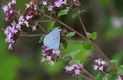 The holly blue, Celastrina argiolus