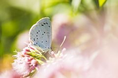 Holly blue Celastrina argiolus butterfly pollinating Stock Image