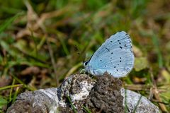 Holly Blue Celastrina argiolus feeding on duck poo stock images