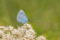 Holly blue & x28;Celastrina argiolus& x29; feeding on hogweed Stock Photos