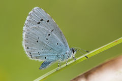 Holly blue & x28;Celastrina argiolus& x29; at rest on grass Royalty Free Stock Photography