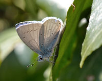 Holly blue (Celastrina argiolus) showing underside of wings Royalty Free Stock Image