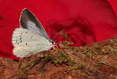 Holly blue. Royalty Free Stock Photos