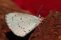 Holly blue. Stock Photo