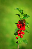 Holly Branch Royalty Free Stock Image