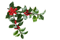 Holly Branch. Branch of Holly leaves and berry isolated on white stock images