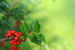 Holly Branch Royalty Free Stock Images