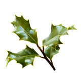 Holly branch Stock Photos