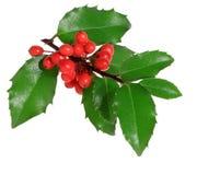 Holly Branch stock photos
