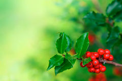 Holly Branch Stock Photo