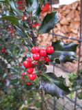 The holly branch Royalty Free Stock Photo