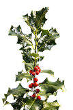Holly Branch with Berries royalty free stock image