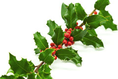 Holly Branch and Berries Stock Image