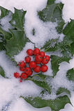 Holly Branch with Berries. Snow covered and frosted Holly branch with red berries Royalty Free Stock Image