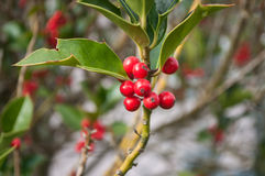 Holly branch in a garden for christmas decoration Royalty Free Stock Photography