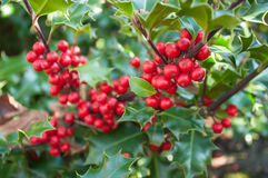 Holly branch in a garden for christmas decoration Stock Photography