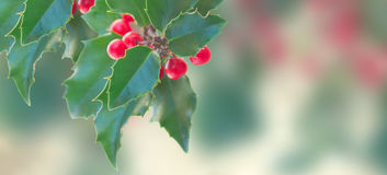 Holly branch on gray background Royalty Free Stock Photos