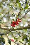 Holly branch - Ilex aquifolium Royalty Free Stock Image