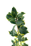 Holly branch with leaves stock photos