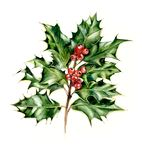 Holly branch with red berries. Watercolor hand drawing illustration stock photos