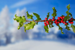 Holly Branch with a Snowy Landscape Royalty Free Stock Photography