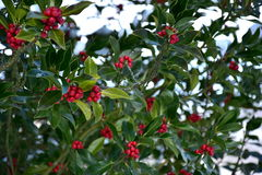 Holly branches background. Holly branches on holly tree ilex opaca with green leaves and red berries royalty free stock photos