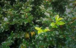 Dense evergreen foliage springs outward. Holly branches with new growth are propelled outward by springy long woody stems. Deeper greens in the inner shaded area Stock Photo