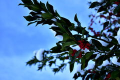 Holly branches with winter blue background. Snowy branches on holly tree ilex opaca with green leaves and red berries stock photography