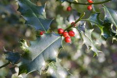 Holly Bush. Portrait of a holly bush with ripe red berries Royalty Free Stock Photography
