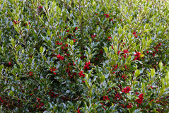 Holly bush Stock Photos