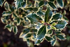 Holly Bush. From above in cold weather Royalty Free Stock Image